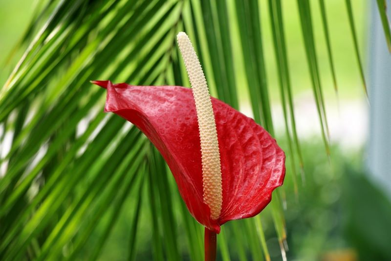 How to Grow Anthurium? A Complete Guide to Anthurium Care
