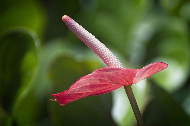 Popular anthurium flower species