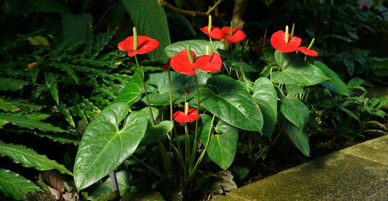 Athurium – watering and propagating