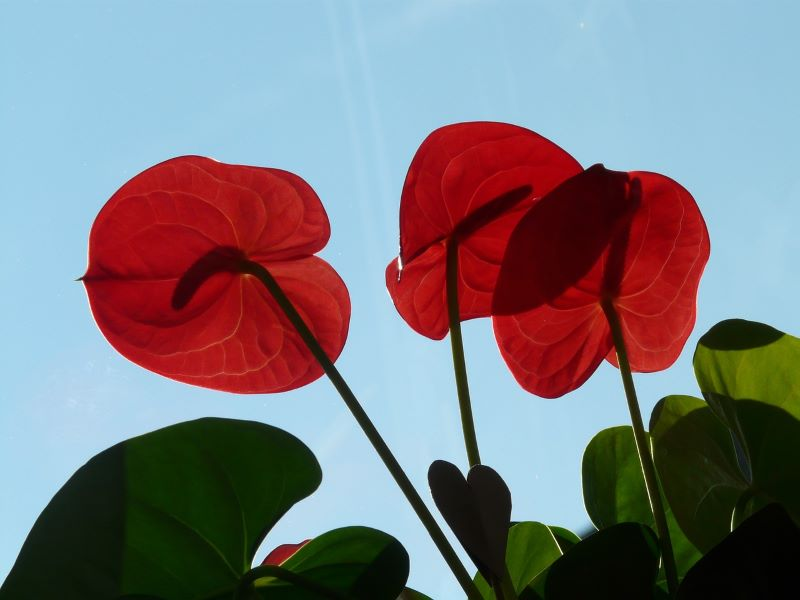 Anthurium – what kind of plant is it?