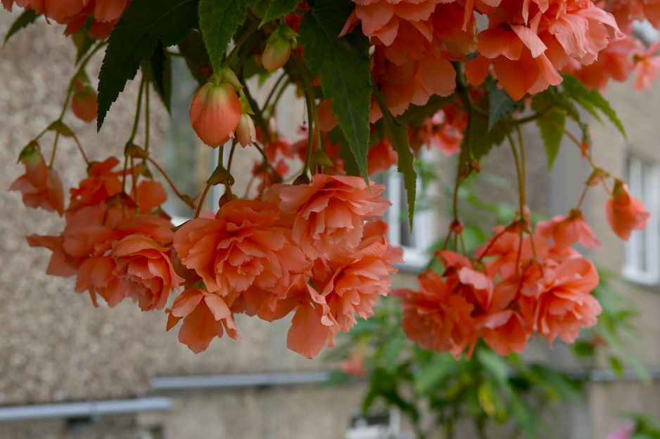 Begonia - balcony plants