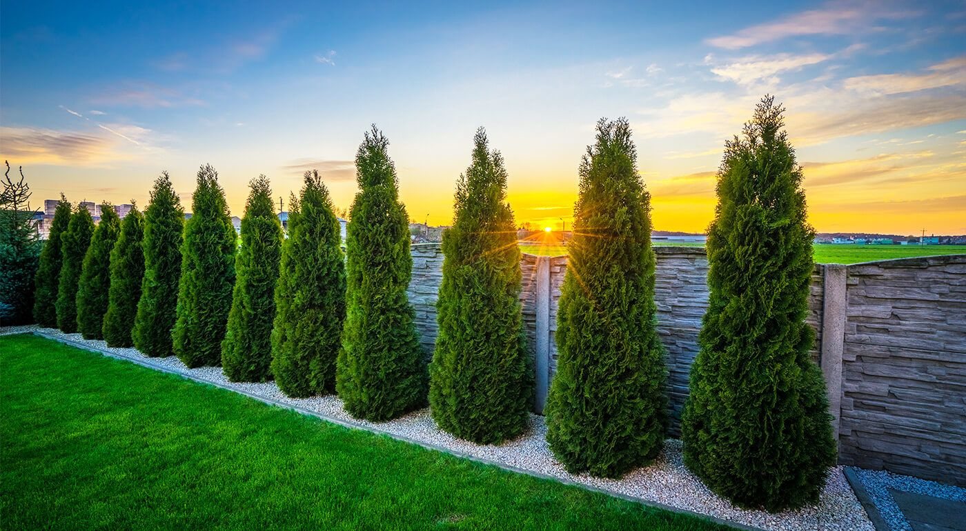 How far apart to plant thuja trees?