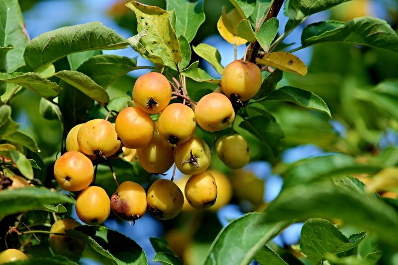 Perennial ornamental fruit trees for garden