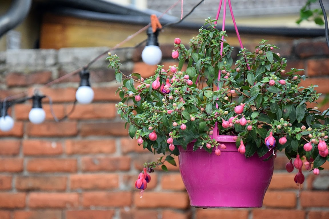 Fuchsia - balcony plants