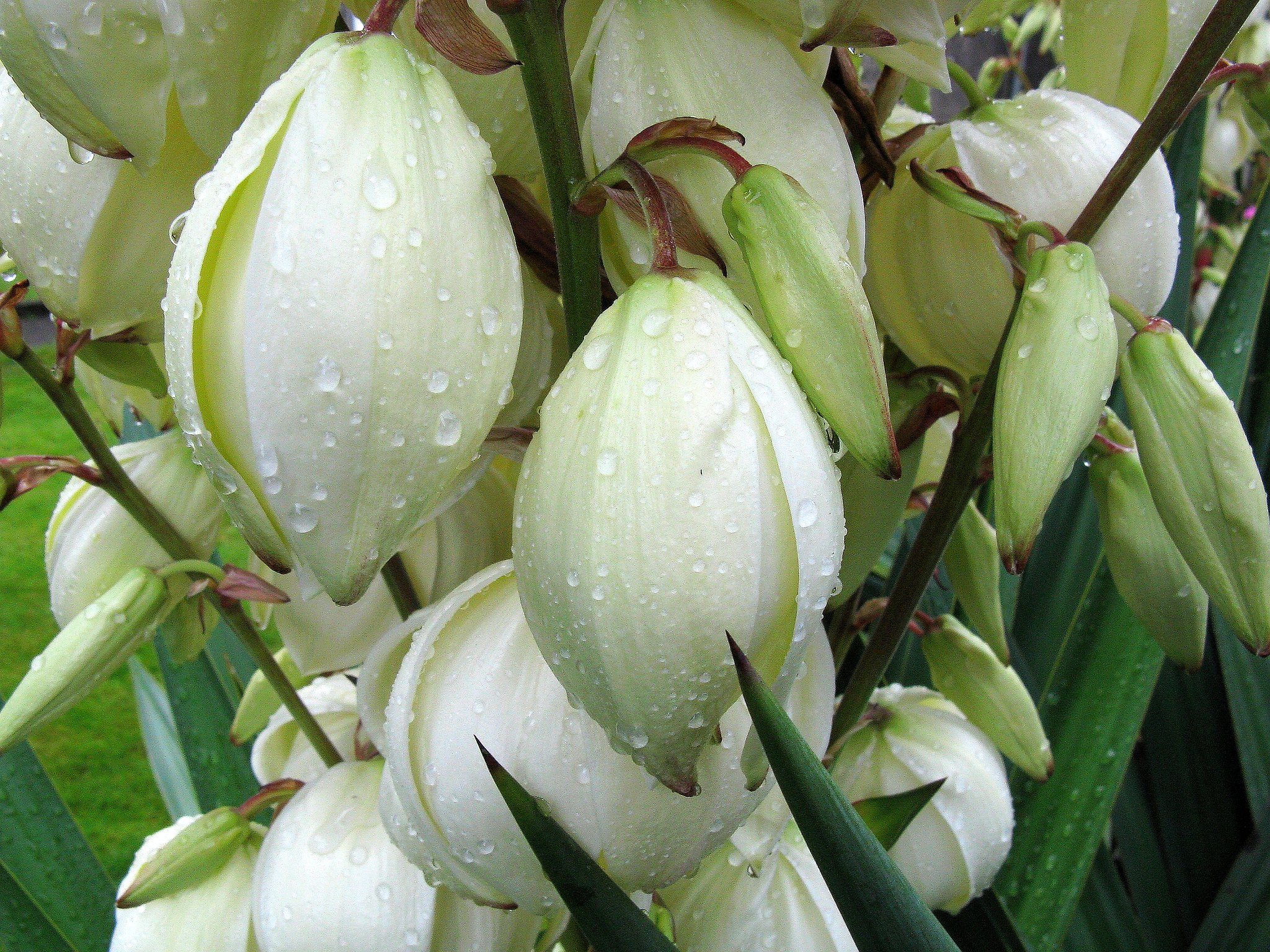 Yucca plant – what kind of plant is it?