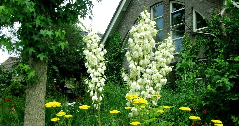 Yucca – planting and care
