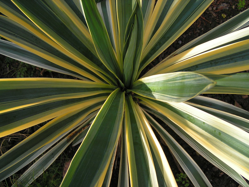 4 most popular types of yucca plant for gardens