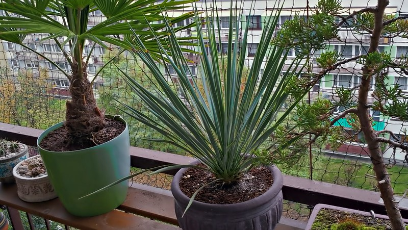 Can you grow a yucca plant indoors?