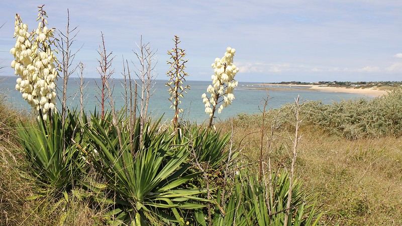 Best conditions for a yucca plant