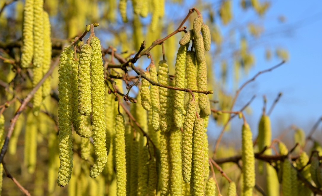 Garden shrubs - hazel