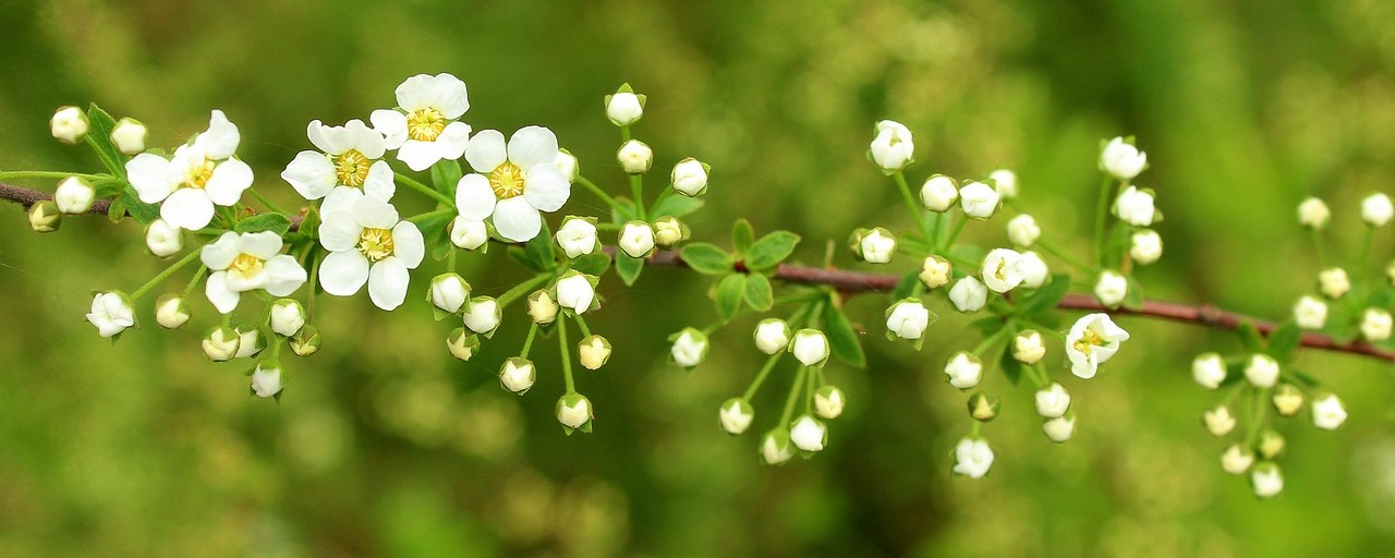 Ornamental shrubs - japanese meadowsweet