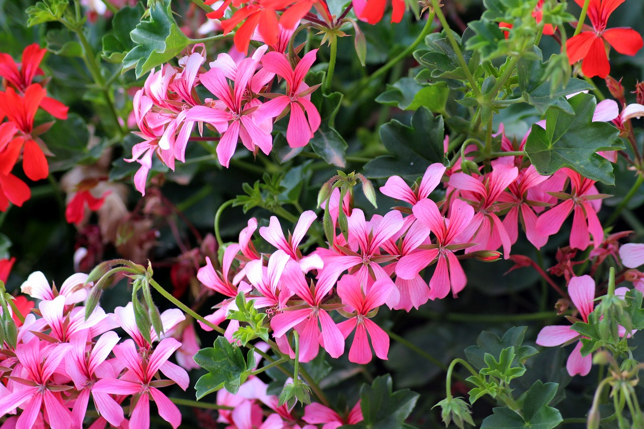 House plants – geranium