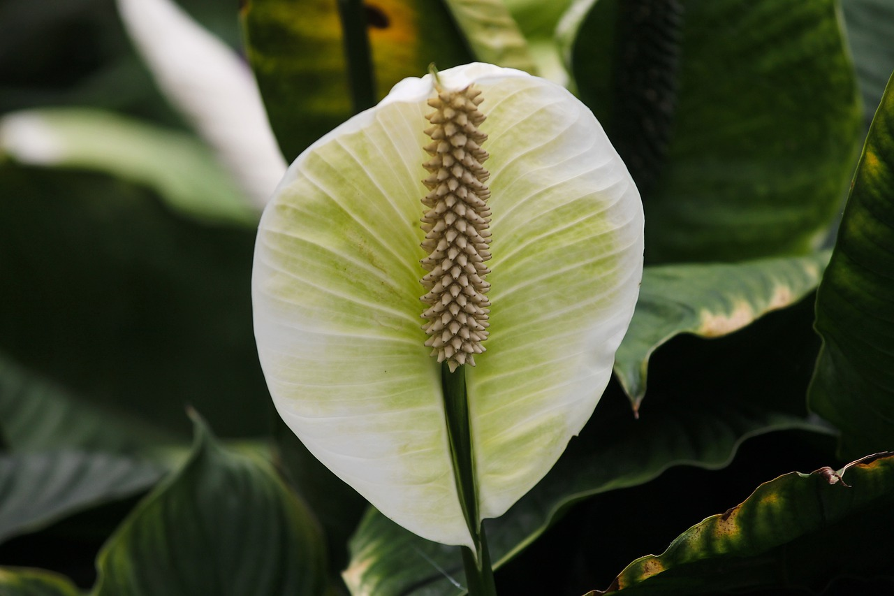House plants – peace lily