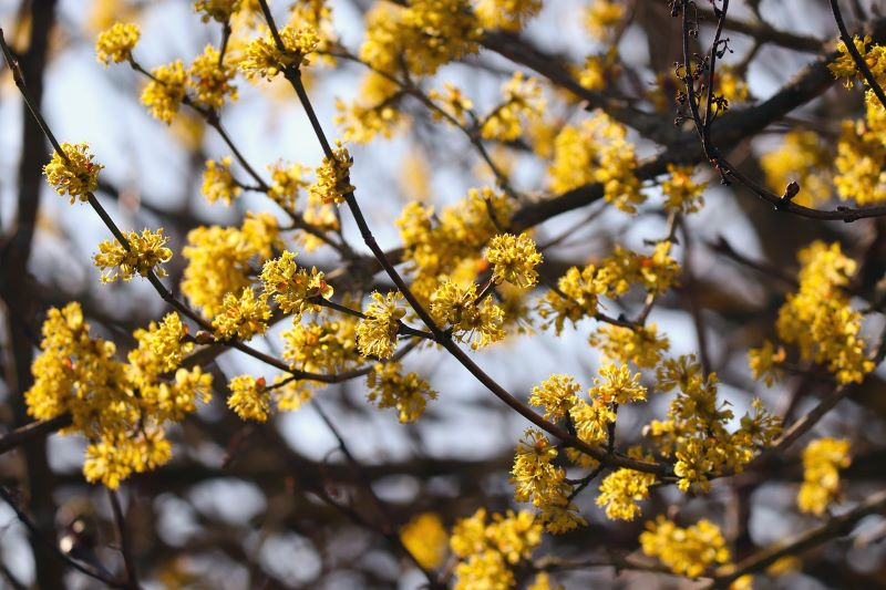 How to plant a cornelian cherry dogwood tree?