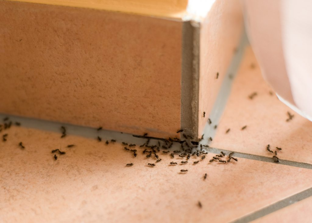 How to get rid of ants in the house? Home remedies to kill ants
