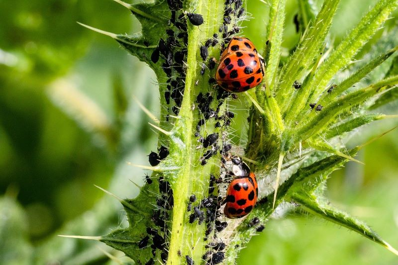 What are aphids and why are they harmful?