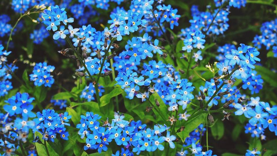 Forget-me-not - balcony flowers