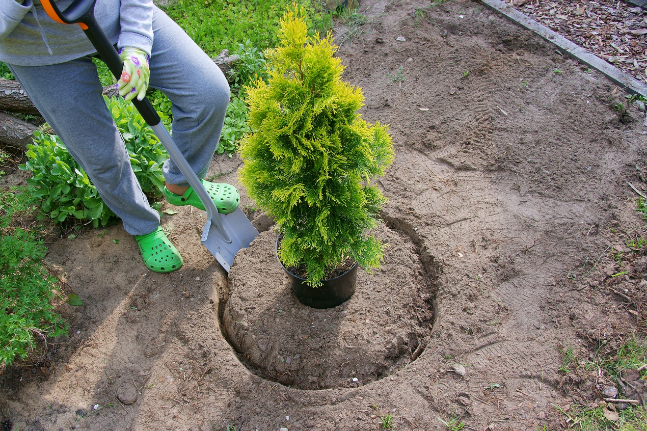 Which type of thuja should I choose?