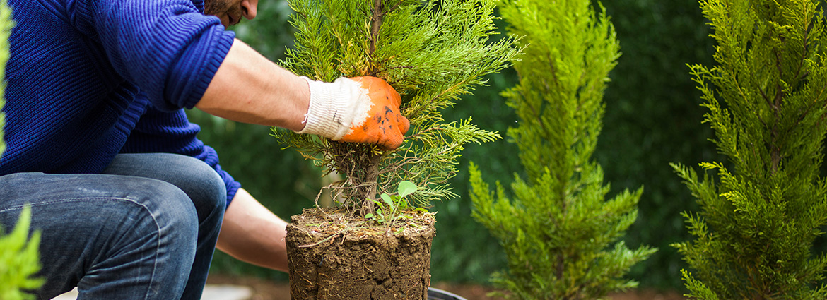 What to keep in mind when planting thuja trees?
