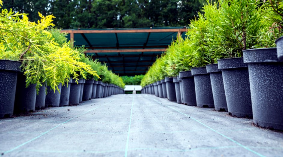Thuja tree seedlings