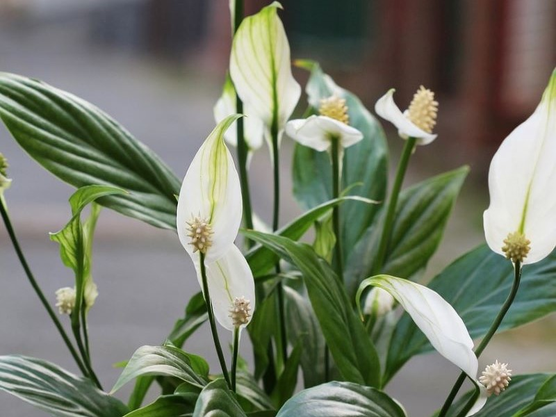 Can Peace Lily Flower Replace Air Purifier? Find Out!