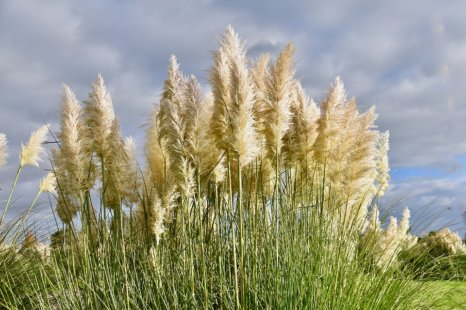 Wonderful Pampas Grass - Learn How to Care for Pampas Grass