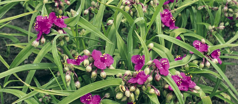 Spiderwort - balcony plants