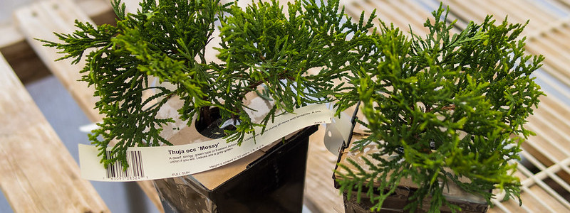 Thuja tree - how to pick the best seedlings